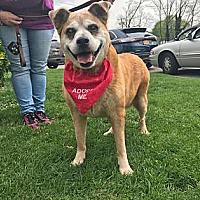 Adopt A Pet :: PEARL - NYC, NY