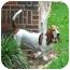 Photo 1 - Basset Hound Dog for adoption in Montgomery, Alabama - Scout