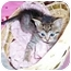 Photo 1 - Domestic Shorthair Kitten for adoption in Taylor Mill, Kentucky - Diega