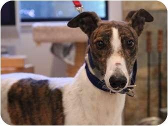 Greyhound Dog for adoption in Walnut Creek, California - LANI
