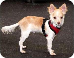 Chihuahua Puppy for adoption in Dallas, Texas - Barley