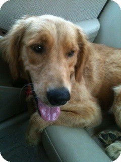 Golden Retriever Dog for adoption in Knoxville, Tennessee - Guthrie