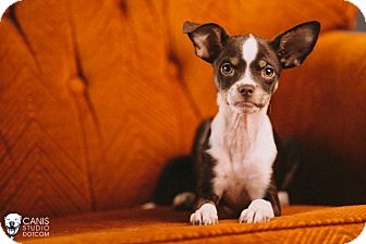 Boston Terrier/Chihuahua Mix Puppy for adoption in Portland, Oregon - Dragonfly