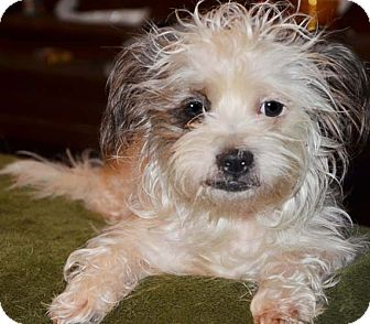 Maltese/Poodle (Miniature) Mix Dog for adoption in Allentown, Pennsylvania - Sully