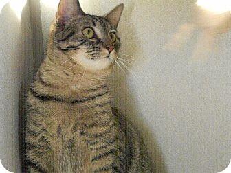 Domestic Shorthair Cat for adoption in Indianola, Iowa - Regal