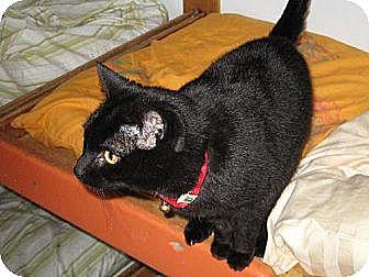 Domestic Shorthair Cat for adoption in Sherman Oaks, California - Cary