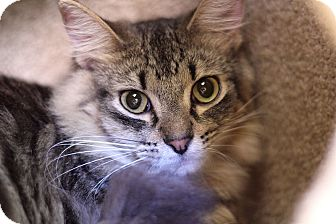 Domestic Longhair Cat for adoption in Chicago, Illinois - Silver Streak