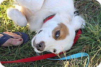 Setter (Unknown Type)/Spaniel (Unknown Type) Mix Dog for adoption in Minneapolis, Minnesota - Spangles