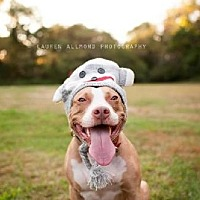 American Staffordshire Terrier Dog for adoption in Voorhees, New Jersey - Sophia