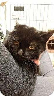 Domestic Shorthair Cat for adoption in Monroe, Michigan - Stormy