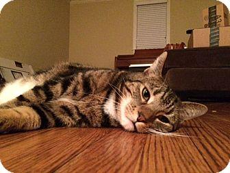 Domestic Shorthair Cat for adoption in Horsham, Pennsylvania - Chance