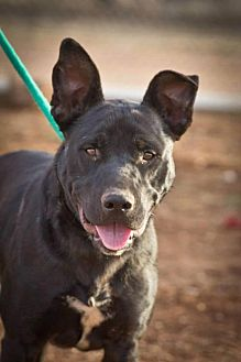 Labrador Retriever/Pit Bull Terrier Mix Dog for adoption in Post, Texas - Parker