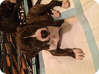 Pit Bull Terrier Mix Puppy for adoption in Fort Wayne, Indiana - Padme