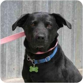 Labrador Retriever Mix Dog for adoption in Denver, Colorado - Buddy