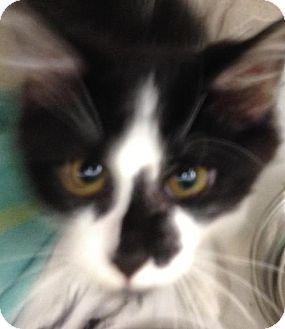 Domestic Mediumhair Cat for adoption in Colorado Springs, Colorado - Emmett