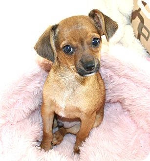Chihuahua/Beagle Mix Puppy for adoption in Los Angeles, California - Calvin- Watch my Video!