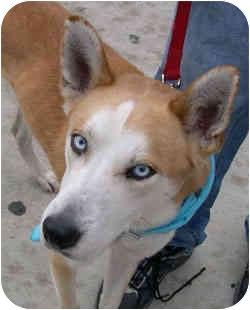 Siberian Husky Dog for adoption in Chicago, Illinois - Denali