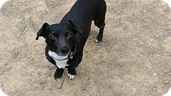 Dachshund/Chihuahua Mix Dog for adoption in Washington, D.C. - Oreo