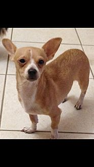 Chihuahua Mix Dog for adoption in Loxahatchee, Florida - Honey
