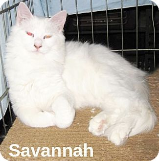 Domestic Longhair Cat for adoption in San Diego, California - Savanah