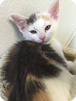 Domestic Shorthair Kitten for adoption in Hendersonville, North Carolina - Shelby