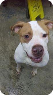 American Bulldog/American Bulldog Mix Dog for adoption in Upper Sandusky, Ohio - Goofy