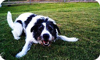 Terrier (Unknown Type, Medium) Mix Dog for adoption in Norwalk, Connecticut - Bosco