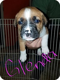 Labrador Retriever/Hound (Unknown Type) Mix Puppy for adoption in Overland Park, Kansas - Glenda