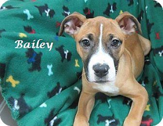 Boxer Mix Puppy for adoption in Bartonsville, Pennsylvania - Bailey