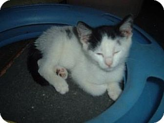 Domestic Shorthair Cat for adoption in Walnutport, Pennsylvania - Avalon