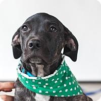 Adopt A Pet :: Dolly - Victoria, BC