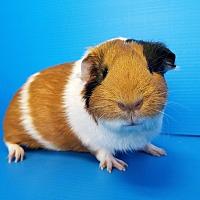 Adopt A Pet :: Bratty - Lewisville, TX