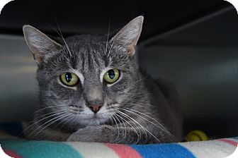 Domestic Shorthair Cat for adoption in New Milford, Connecticut - Alberta