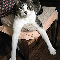 Adopt A Pet :: Silvio - Harrison, NY