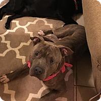 Adopt A Pet :: Moose - Decatur, GA