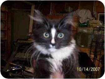 Domestic Longhair Kitten for adoption in Oak Lawn, Illinois - Sox