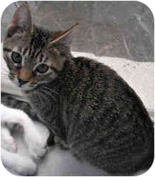Domestic Shorthair Kitten for adoption in Houston, Texas - Olivia