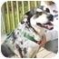 Photo 3 - Australian Cattle Dog/Blue Heeler Mix Dog for adoption in Lake Odessa, Michigan - Blue
