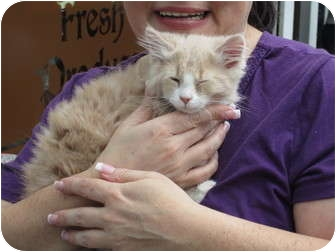 Maine Coon Kitten for adoption in Randolph, New Jersey - Rascal