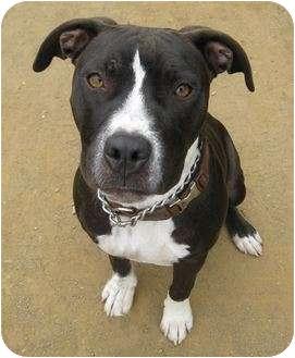 Pit Bull Terrier Mix Puppy for adoption in Santa Barbara, California - Sissy