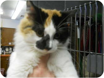 Calico Cat for adoption in Anderson, Indiana - Ellie