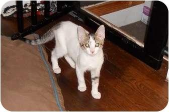 Domestic Shorthair Kitten for adoption in Long Beach, New York - Brownie