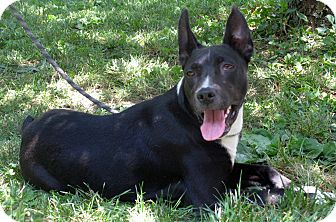 American Pit Bull Terrier/Labrador Retriever Mix Dog for adoption in Evansville, Indiana - Scout