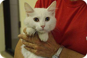 Domestic Longhair Kitten for adoption in Elyria, Ohio - Precious