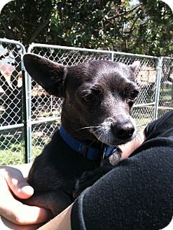 Chihuahua Mix Dog for adoption in Yuba City, California - *URGENT* 8/16 Mousey