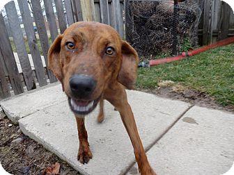 Redbone Coonhound/Plott Hound Mix Dog for adoption in Cincinnati, Ohio - Roscoe: Oxford