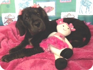 Spaniel (Unknown Type)/Labrador Retriever Mix Puppy for adoption in Greenville, Rhode Island - Missy