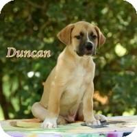 Labrador Retriever/Husky Mix Puppy for adoption in Kingwood, Texas - Duncan