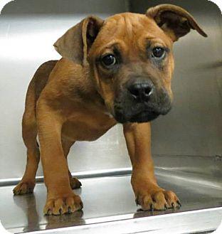Boxer/Labrador Retriever Mix Puppy for adoption in Williston, Vermont - Scipio