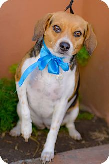 Beagle Mix Dog for adoption in Irvine, California - ESMERALDA